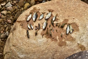 關西水坑溪又見死魚!「死到沒魚可死」 鄉親怒轟科技廠