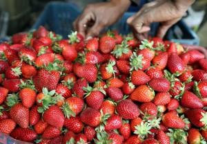 在澳洲吃草莓要小心! 疑似千面人在果肉藏針