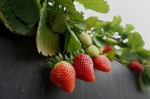 藏針草莓蔓延澳洲 紐西蘭食品公司停止進口