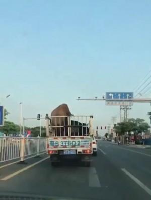 大公豬與母豬運途中「車震」 網:司機驚怎麼有地震?