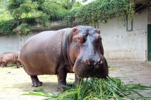 直擊「遍地是黃金」 台北動物園河馬池清掃大公開