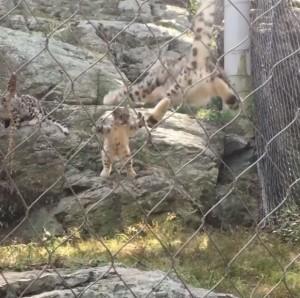 超可愛!2隻雪豹神同步「大字跳」 網友讚:不愧是母子