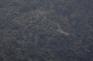 壯觀!黃頭鷺過境高峰 古坑空中「白龍」現蹤
