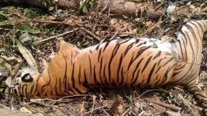 全球不到400頭 蘇門答臘虎遭捕獸陷阱纏死