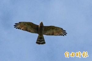 滿州國慶鳥上萬過境大爆發 「觀落鷹」民眾high到不行