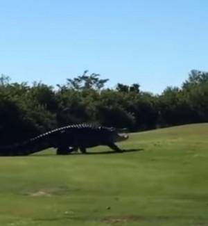 美高爾夫球場驚見4.5公尺巨鱷 隨意爬行讓民眾看呆