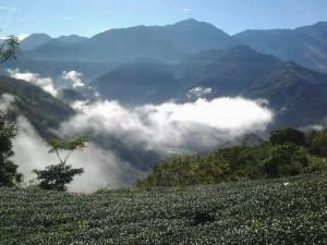 南投茶農欠稅無力繳 高海拔珍稀烏龍茶12/4法拍