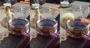 爆萌!看飼主敲小鼓突開竅   鸚鵡瞬間變身啄木鳥