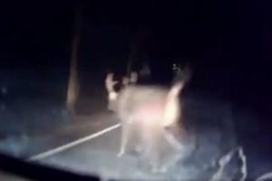 神獸降臨?他公路驚見「超巨型野鹿」比機車還大