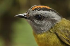 全球暖化導致山鳥絕種 科學家疾呼重視棲地保育