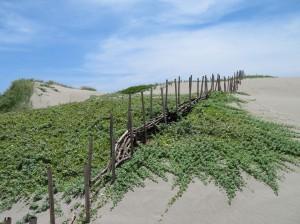 萬惡「銀合歡」大變身 竟成海岸護沙神樹
