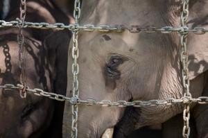 不長象牙了! 獵殺影響非洲母象演化
