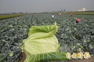 謠言終結站》傳本土高麗菜價被政府害崩 網友狠打臉