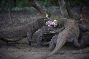 科摩多巨蜥吸金 印尼國家公園門票擬調漲50倍!