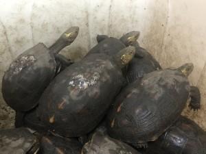 規模罕見!男子私養繁殖79隻保育類食蛇龜