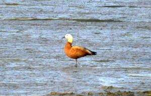 超罕見冬候鳥1天快閃? 「黃麻鴨」現蹤學甲濕地又不見了