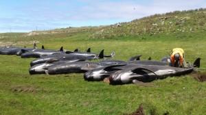 繼145頭鯨屍之後 紐西蘭又有51隻領航鯨擱淺死亡...
