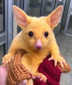 「野生皮卡丘」在澳洲! 變種金毛袋貂萌翻網友