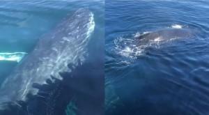 高雄外海出現長鬚鯨? 浮出海面發出叫聲打招呼…