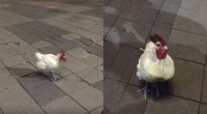 白羽公雞出沒高雄愛河畔!網友笑:劫後餘生的雞