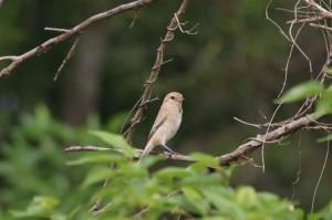 「荒漠伯勞」現芳蹤 金門發現全國第658種新紀錄鳥種
