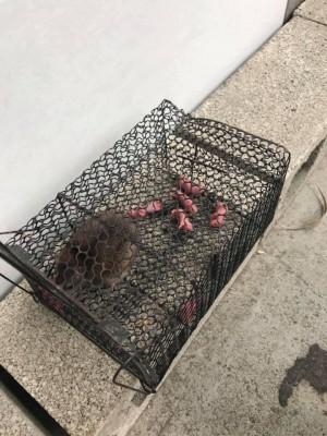 抓到家中老鼠!隔天竟生了一窩BABY...網友傻眼「怎麼辦?」