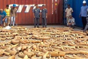 有史以來最多 柬埔寨查獲3.2公噸的走私象牙