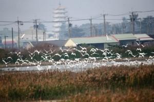 創紀錄!400隻黑面琵鷺造訪高市茄萣濕地