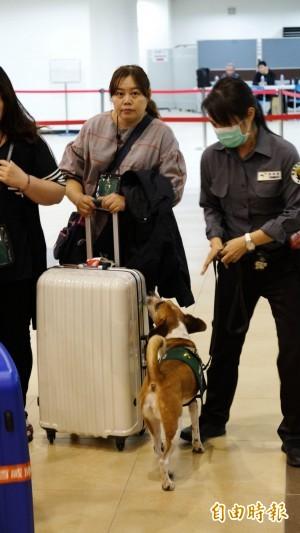 防堵非洲豬瘟!檢疫犬把關國門 嗅聞郵輪旅客行李