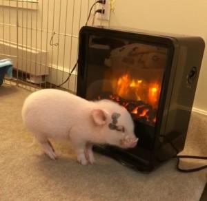 寵物豬靠近仿真火焰電暖爐取暖 網友竟越看越香...