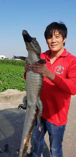 驚!田邊水溝有鱷魚 疑823淹水從飼養場逃脫