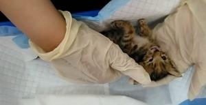 中途志工控修改規定害幼貓餓死 桃園市動保處這樣說…