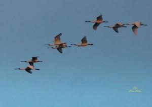 冷氣團送來北方嬌客   黑面琵鷺飛抵高屏溪口