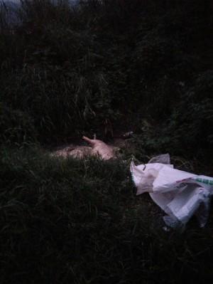 花蓮壽豐河邊發現6隻死豬 防疫所:初勘無非洲豬瘟表徵