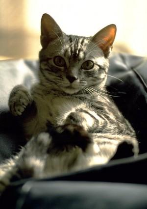寵物貓走失170公里外尋回 全靠體內微型晶片