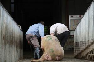 用豬瘟肉品偷襲鄰國 網民嘆:中國人禍害全亞洲