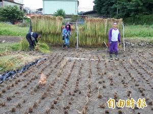 「倒掛稻」曬穀!台商回鄉自然農法種稻 推廣食農教育