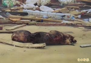 中國海漂死豬不斷攻台  綠委質疑是否蓄意丟棄