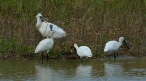 琵鷺不全是黑面的  茄萣濕地出現罕見白琵鷺