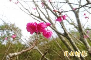 這裡的梅花還沒盛放山櫻卻先開了 20年來首見