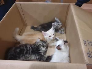褲檔一大包還會「喵喵叫」 海關攔查竟藏「4隻貓」