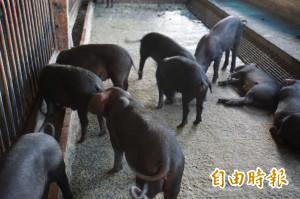 雲林違規廚餘養豬 第一張罰單開出來了