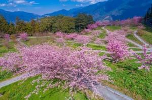 福壽山農場 部分山櫻花「偷跑」開花
