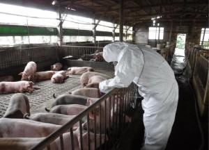 嚴防非洲豬瘟 桃園明舉行防疫演習