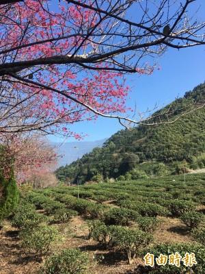 暖冬櫻花搶先開 信義草坪頭「櫻」姿煥發
