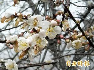 今年梅樹開花率僅1成 青梅恐減產、價揚