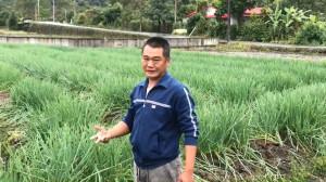 三星蔥拍賣價10年新低不敷成本 蔥農:做心酸