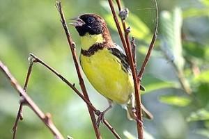 別再吃了!「這隻鳥」瀕臨滅絕 快被中國人吃光