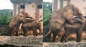 大勝鄉民30公分!公象逾1米巨屌 如象鼻般靈活找洞鑽