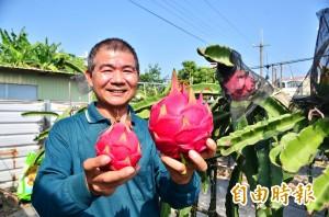 無毒栽培「波霸火龍果」 比一般大近3倍又很甜
